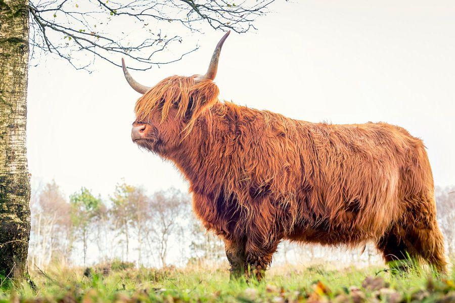 Schotse Hooglander op Jiltdijksheide (Westerkwartier) van Martijn van Dellen