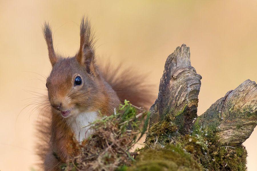 Rode eekhoorn van Göran Dekker