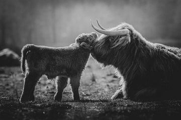 Schwarz-weißes neugeborenes schottisches Highlander-Kalb, das mit der Mutterkuh kuschelt von Maarten Oerlemans