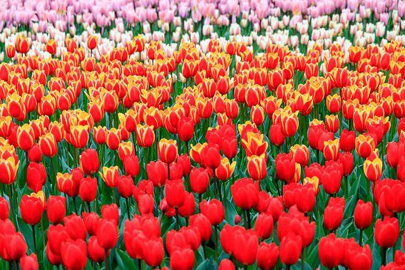 Rode tulpen close up