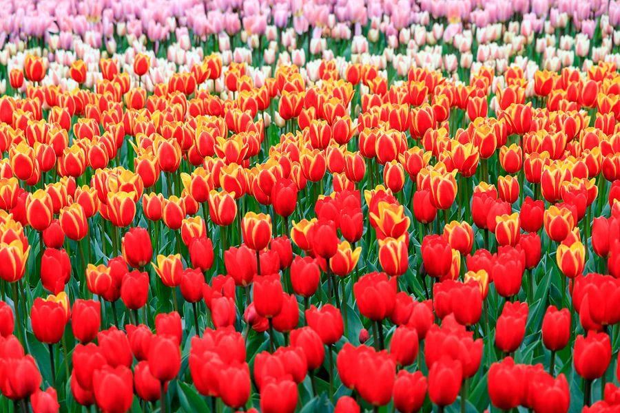 Rode tulpen close up van Dennis van de Water