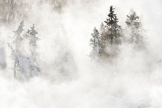 Naaldbomen in Yellowstone Nationaal Park