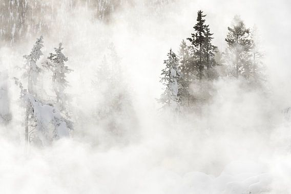 Naaldbomen in Yellowstone Nationaal Park van Caroline Piek