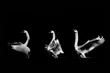Swan Dance Black And White van Lynlabiephotography