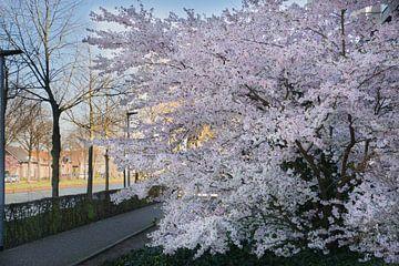 Japanse bloesem aan het Julianakanaal in Weert van J..M de Jong-Jansen