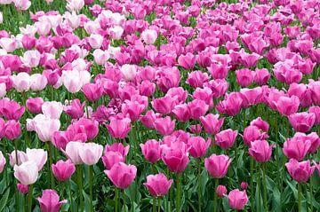 veld met tulpen van Compuinfoto .