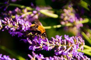 Hommel op Lavendel van FotoGraaG Hanneke