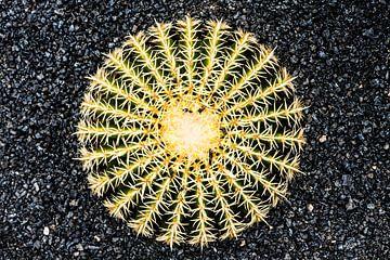 Cactus op zwarte ondergrond