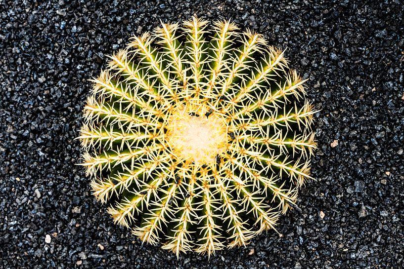Cactus op zwarte ondergrond van Dennis Van Den Elzen