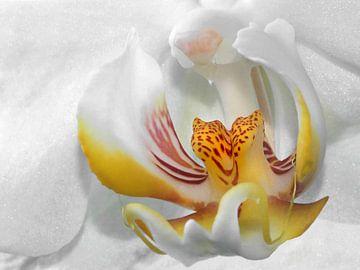 Weiße Orchidee van