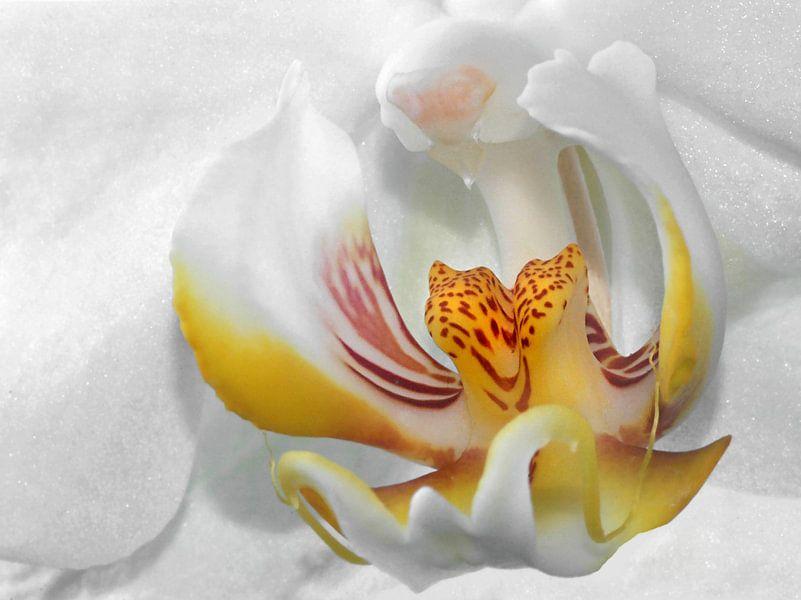 Weiße Orchidee von Vera Kämpfe