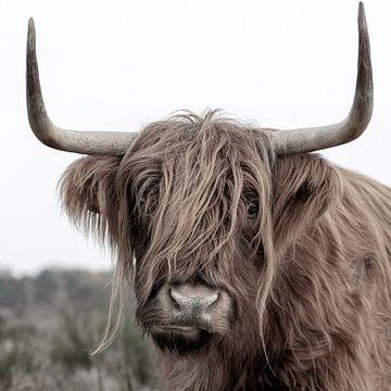 Schotse Hooglander uit het Gooi von Dennisart Fotografie