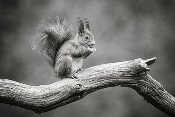 Eichhörnchen in schwarz und weiß I von Cindy Van den Broecke