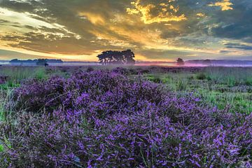 Regte Heide en fleurs