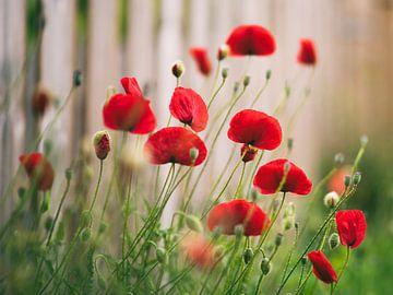 Rückkehr der Mohnblumen von Tvurk Photography