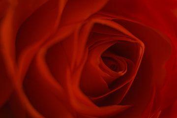 Roos, bloem der liefde van Danny Vandebosch