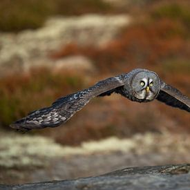 Great Grey Owl (Strix nebulosa) in hunting flight, flying close above the ground, in fall, autumnal  van wunderbare Erde