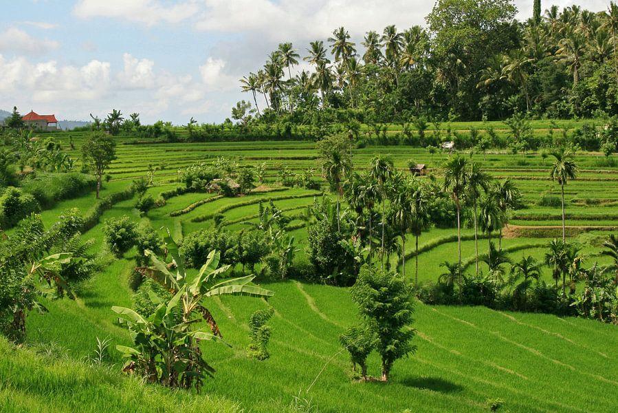 Rijstveld op Java van Antwan Janssen