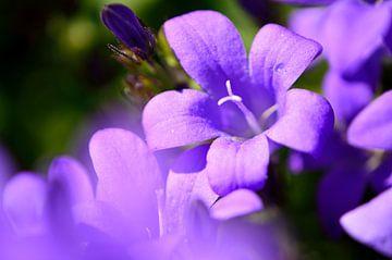 lila Glockenblume von Gerard de Zwaan