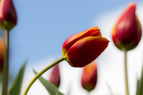 Tulip van Michael van der Burg
