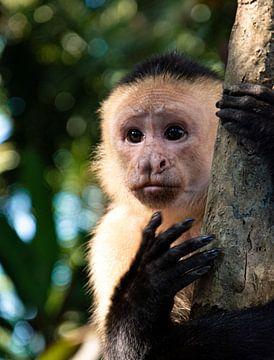 Witschouderkapucijnaapje, aapje in Costa Rica van Bianca ter Riet