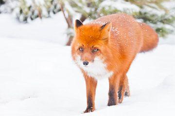 Fox full-face close-up op een achtergrond van kerstbomen. Mooie rode pluizige vos in de sneeuw tijde van Michael Semenov