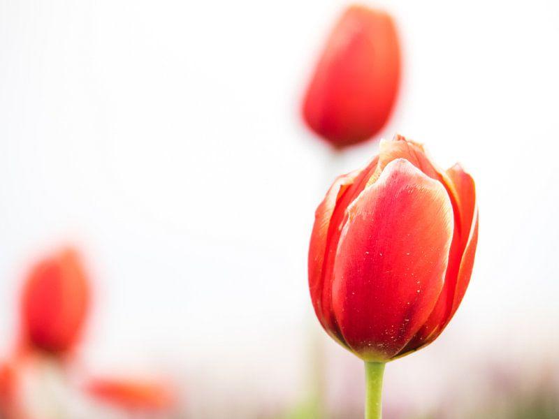 Tulpen auf einem weißen Hintergrund von Martijn Tilroe