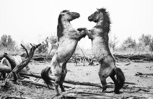 Dansende Konikpaarden van Xander Haenen
