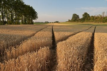 Korenveld bij Riemst (B) - Wheat field at Riemst (B) van Ton Reijnaerdts
