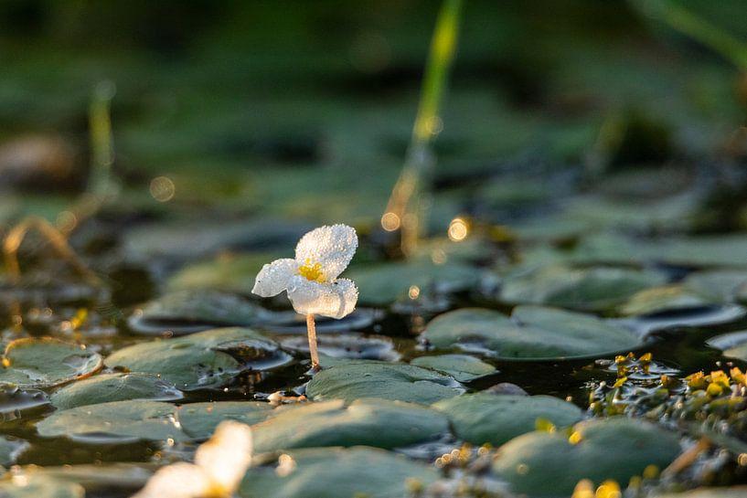 Bloeiende waterplant met dauw bij opkomende zon van Photo Henk van Dijk