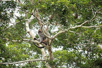 ZIlveren aap Maleisië  von Anke Akkermans