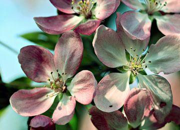 Apfelblüte van Roswitha Lorz