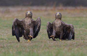 The Eagle Army (Pygargues à queue blanche) sur Harry Eggens