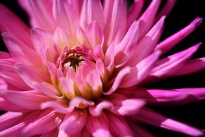 It's a pink Dahlia..