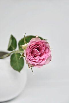 einzelne Rose von Claudia Moeckel