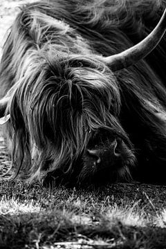 Portret Schotse Hooglander, Scottish Highlander van Jeffrey Hensen