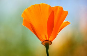 Oranje klaproos van Kim van der Plas