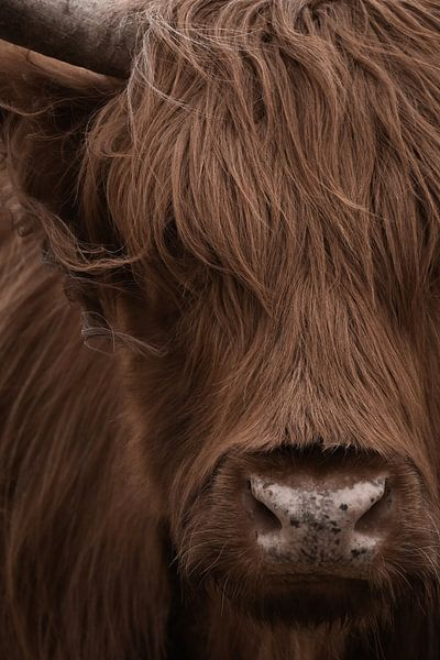 Schottischer Highlander Porträt in Farbe von Marjolein van Middelkoop