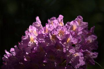 rhododendron & Sonnenlicht von Marvin Van Haasen