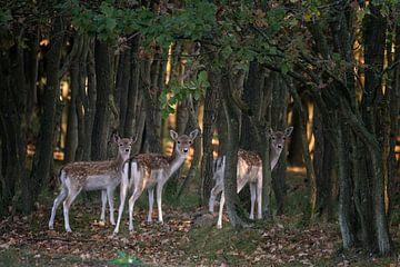 Drie nieuwsgierige herten in een bos. van Albert Beukhof