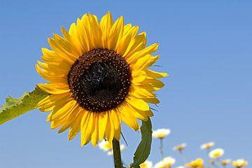 Zonnebloem met blauwe lucht van
