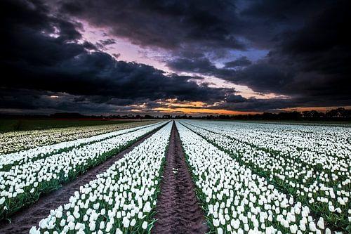 Tulpen von AGAMI Photo Agency