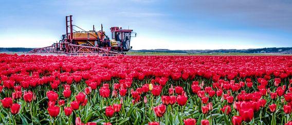 Tulpen Sproeien van Alex Hiemstra