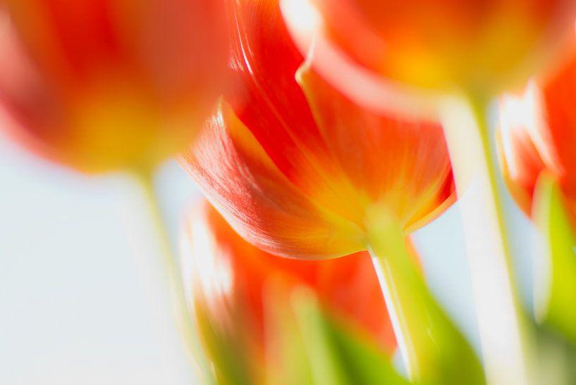 Tulp in tegenlicht van Greetje van Son