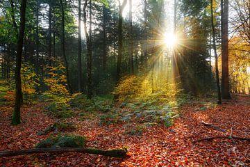 Herfstbos zonsopkomst in het Speulderbos van Dennis van de Water