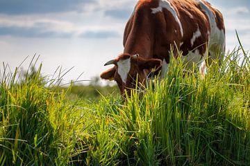 Grazende bruine bonte koe langs de waterkant in het weiland van Fotografiecor .nl