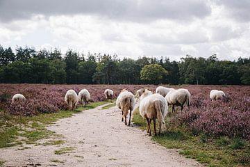 Drenthe Heideschafe auf der Heide von Hilversume bei Crailo, Bussum, Niederlande von Evelien Lodewijks