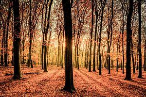 Herfst in het Beukenbos op de Veluwe
