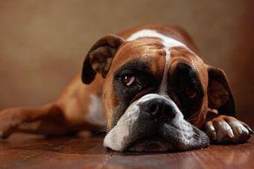 American Boxer dog van Jana Behr