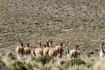 Vicunas auf dem bolivianischen Plateau von Marieke Funke